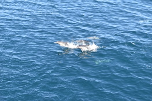 Dolphins around San Miguel Island