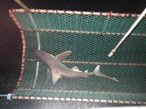 Shark in sling