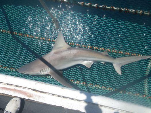 sandbar-shark