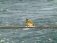 Migrating songbird visitor