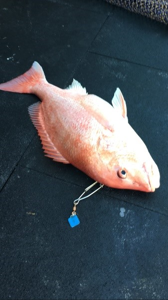 red snapper1