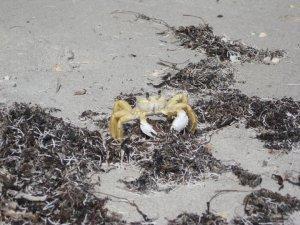 Cocoa Beach sand crab