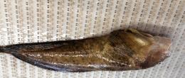 Okhotsk Snailfish Body