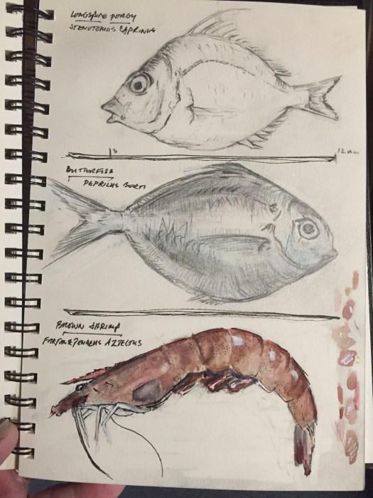 Longspined Porgy - Butterfish - Brown Shrimp