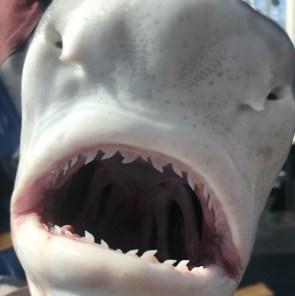 snout of Tiger shark