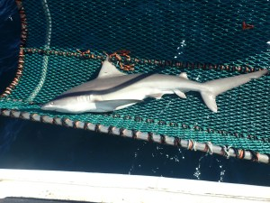 Sandbar Shark in cradle
