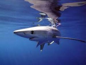 NOAA shark