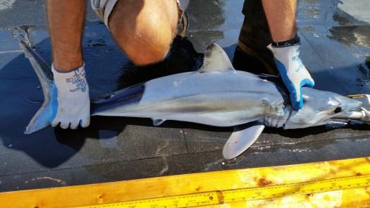 juvenile female mako shark