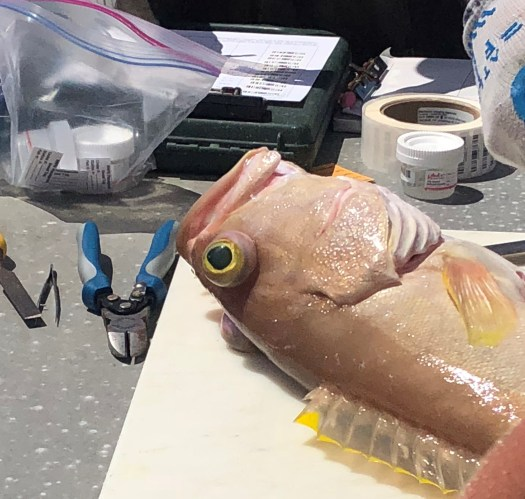 A yellowedge grouper on a table surrounded by sampling equipment.