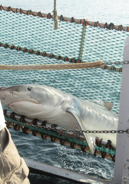 A large tiger shark lies on a support framework made from reinforced netting. The shark and the structure are being lifted out of the water.