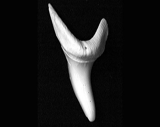 A shortfin mako shark (Isurus oxyrinchus) tooth is narrow and pointed.