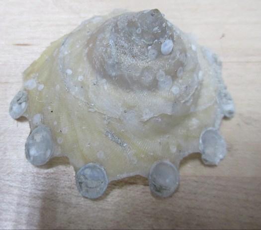 A spiral-shaped shell belonging to a marine snail.