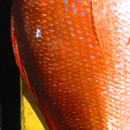 Close-up view of red snapper scales