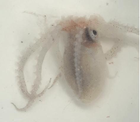 Pelagic octopus