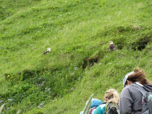 Bunker Hill bald eagles