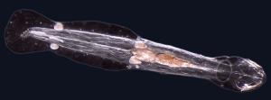 arrow worms