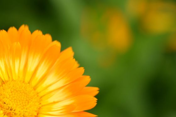 小清水リリーパークで撮影した金盞花