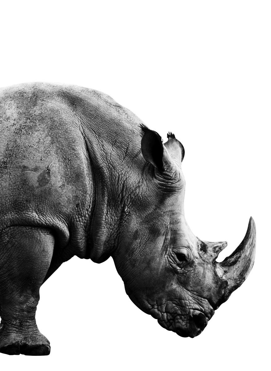 Affiche Sous Cadre Animaux Rhinoceros Noir Et Blanc Fabrication Francaise Livraison Et Retour Rapide