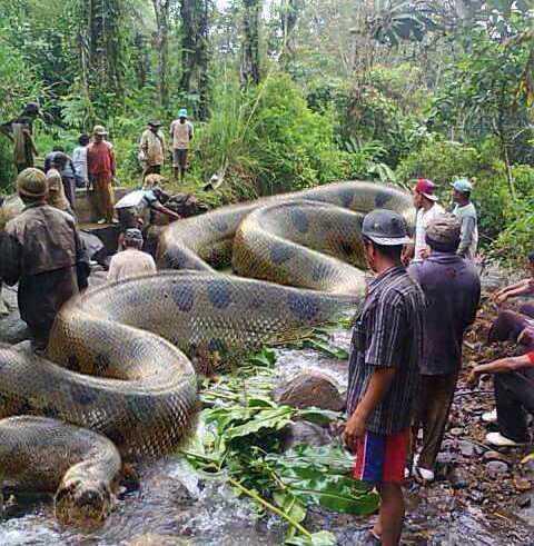 A maior cobra do mundo encontrada em Beruri.