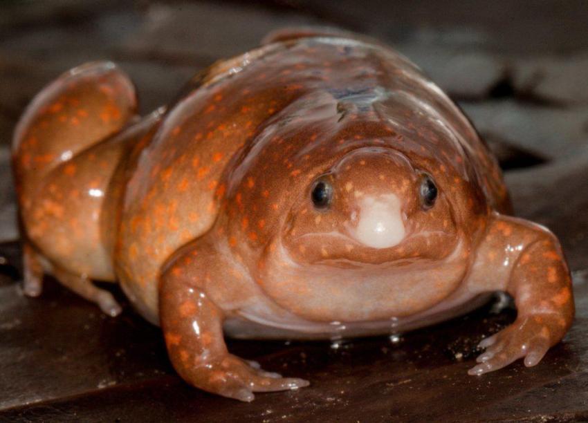 'Sapo zumbi' foi identificado por cientista alemão na Amazônia / Foto : Antoine Fouqet/Science Direct/Reprodução de estudo
