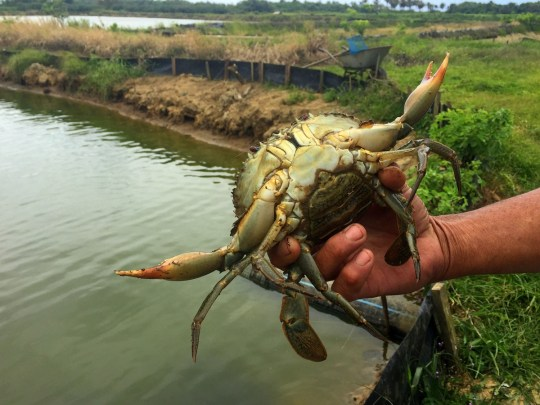 Farm to Table, Fijian Style - Crab Farm