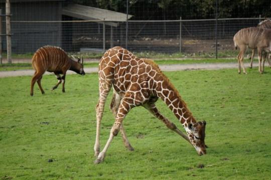 Safari in Santa Rosa, California
