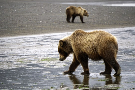 Bear Viewing in Alaska - Lake Clark National Park
