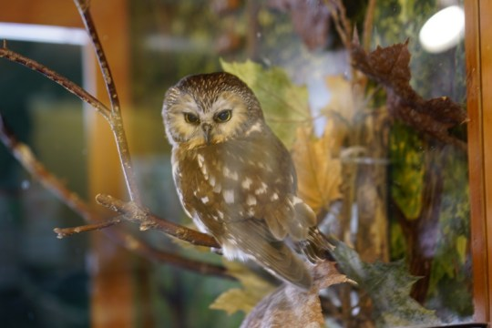 Cute owl at the Effie Yeaw Nature center in Sacramento