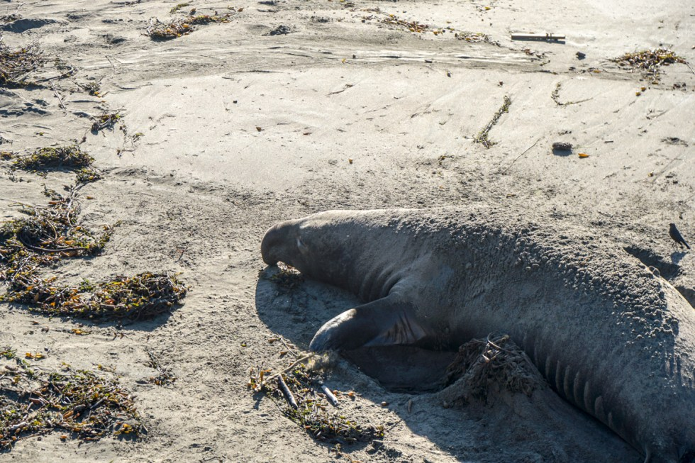 One of the top Things to do in SLO is visit the Elephant Seals