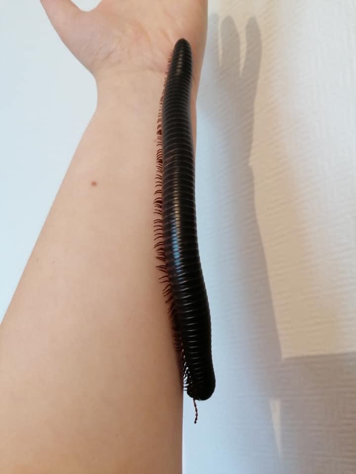 Archispirostreptus gigas NC de 3 ans (femelle, 18cm)