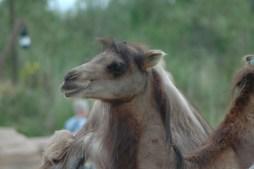 Beinahe elegant fällt dem Kamel der Mittelscheitel über die Stirn