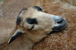 Eng aneinandergekuschelt schlafen diese Ziegen trotz der Besucher.