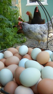 First of May, there were LOTS of eggs. I had been away for a week and they were still free ranging.