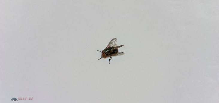 Fly in my apartment in Paris...;-) 100% authentic french Parisian fly