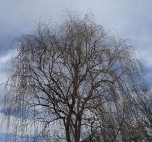 willow-weeps-in-winter