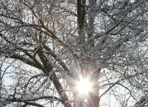 sun-through-icy-tree