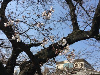 今日の東工大の桜 2018年3月25日(月) 2