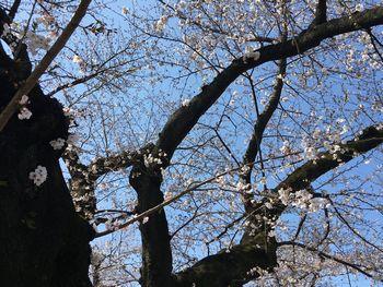 今日の東工大の桜 2018年3月27(水) 2