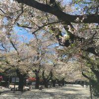 今日の東工大の桜 2019年4月11日(木)-2