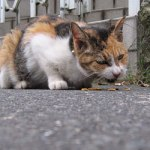 原宿野良猫日記-番外編(新大久保)