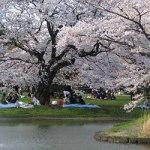 代々木公園の桜(3月30日現在)