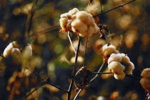 cotton09