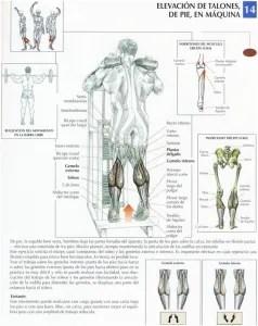 musculos del gemelo
