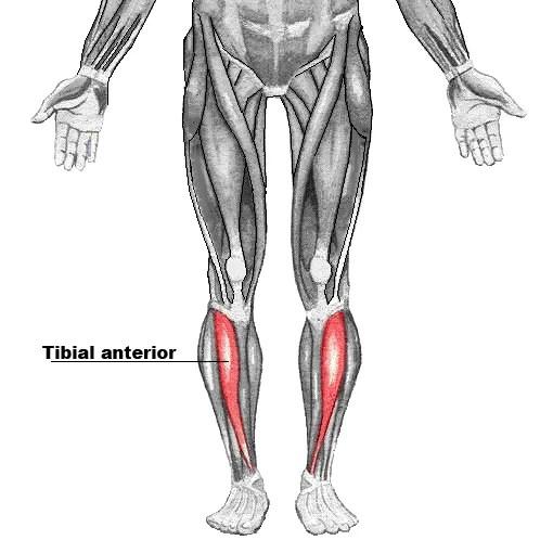 Tibial anterior: Funciones, lesiones y estiramientos