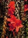 Columnea arguta on the Vertical Garden, flower close-up, Sofitel Palm Jumeirah, Dubai