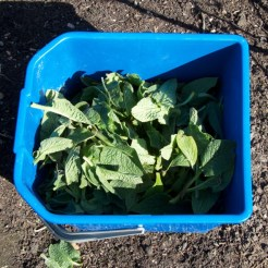 comfrey leaves in bucket, these have been chopped