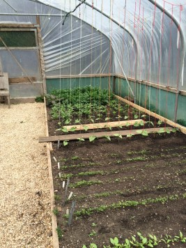 Polytunnel grown beans and other plants