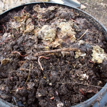 Worms loving some not quite composted matter I put in a 'dalek'composter