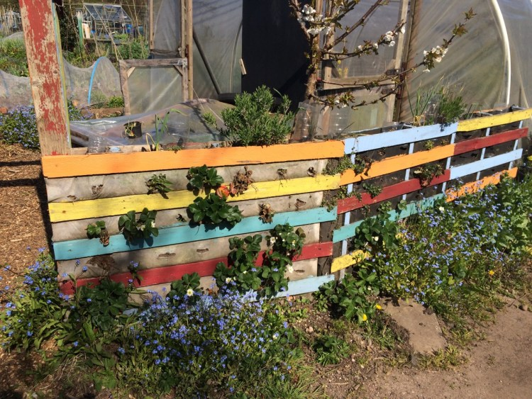 colourful pallet fencing with strawberries, herbs and flowers