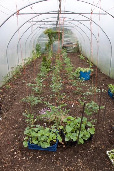 polytunnel today, about 2/3 through planting